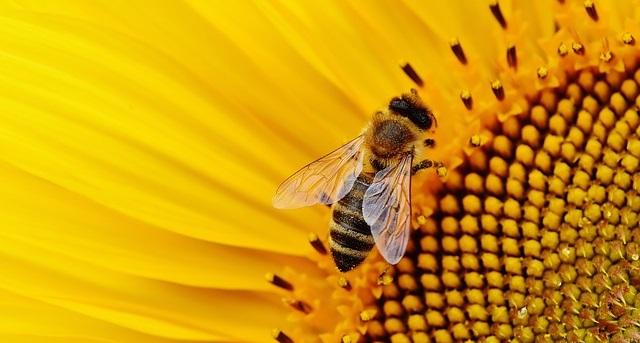 Blumen für Bienen - Sonnenblume